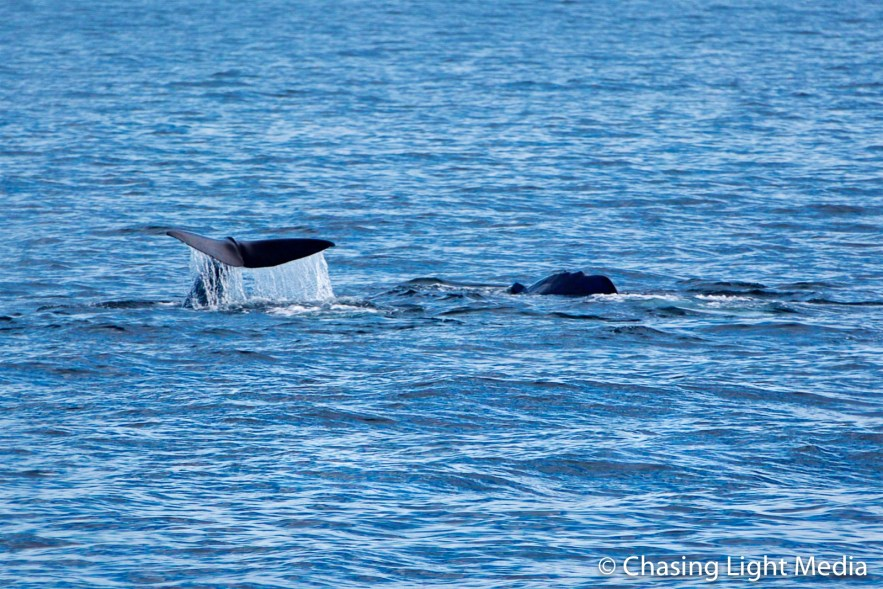 Sperm whale flukes while another swims beside near Isla San Jose