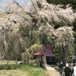 おしら様の枝垂れ桜を見てきた!東北をツーリング(秋田県湯沢市)