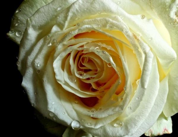 White Romance on Black Velvet