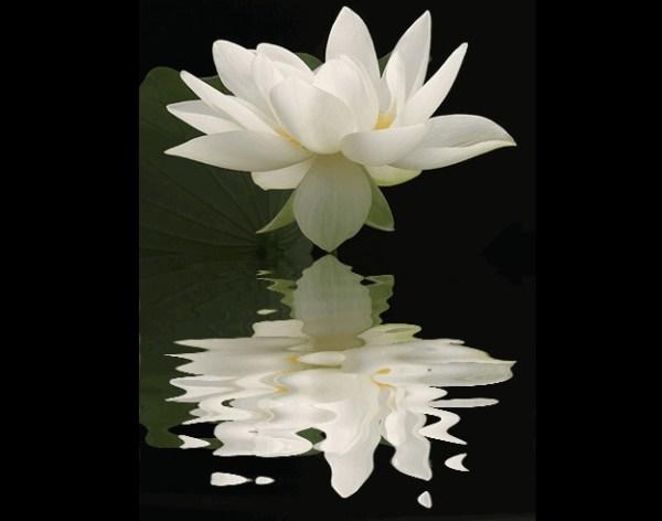 Lotus flower reflection