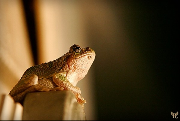 Tree Frog Staring at Light