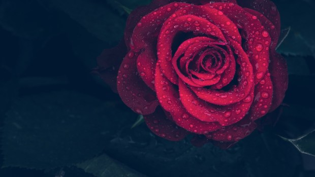 A close up of red rose with rain drops