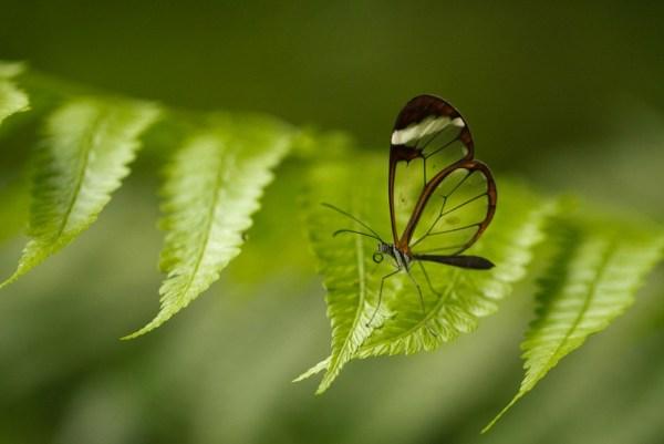 Clear Butterfly