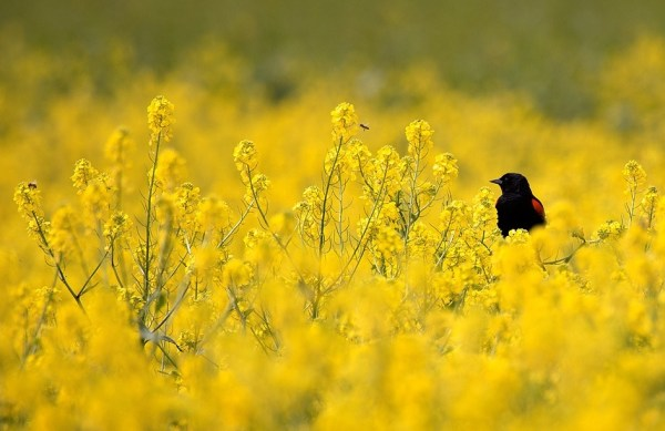 Red-winged Blackbird in Sea of Yellow