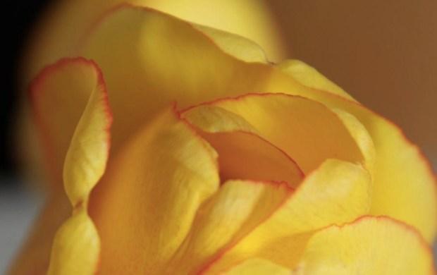 Tulip - Closer Look