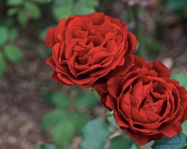 Two full red roses