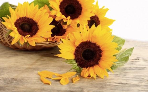 Wallpaper of Sun Flower