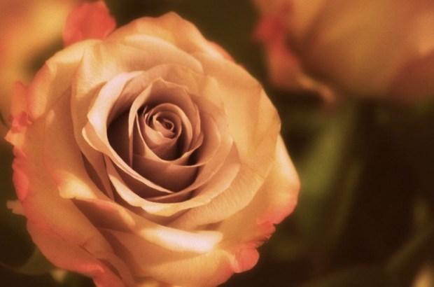 A Rose light
