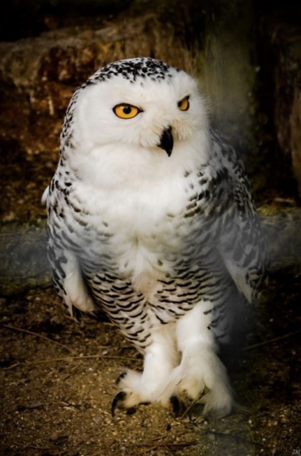 Hedwig's lost cousin