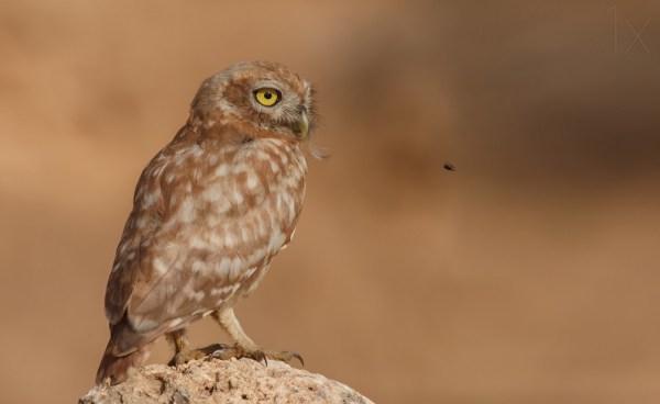 Owl Vs Bee