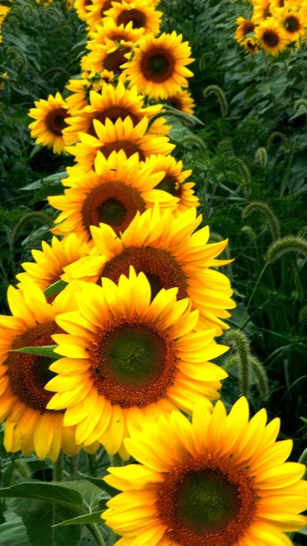 Sunflower8