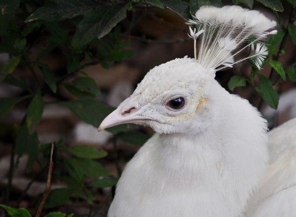 An albino peacock in Yokohama