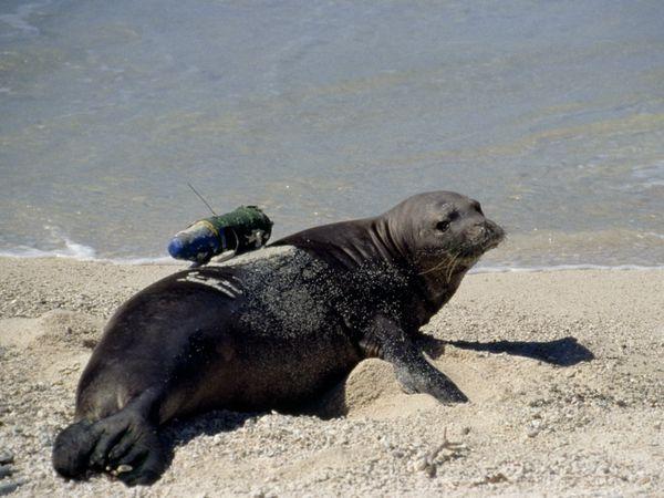 Hawaiian Monk Seal With Crittercam