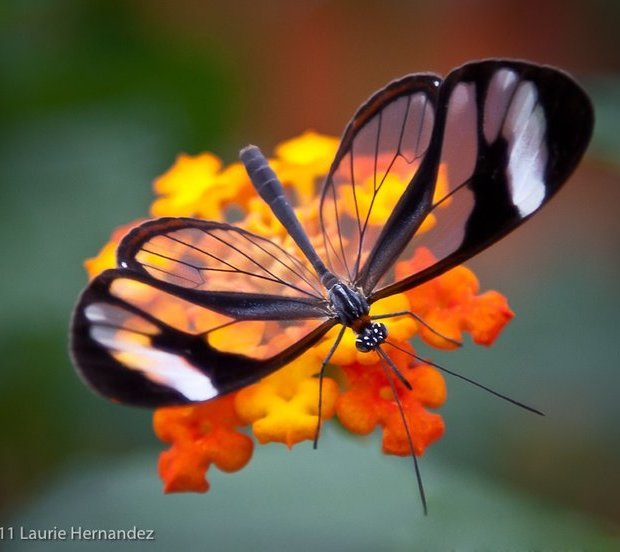 Butterfly Pictures9