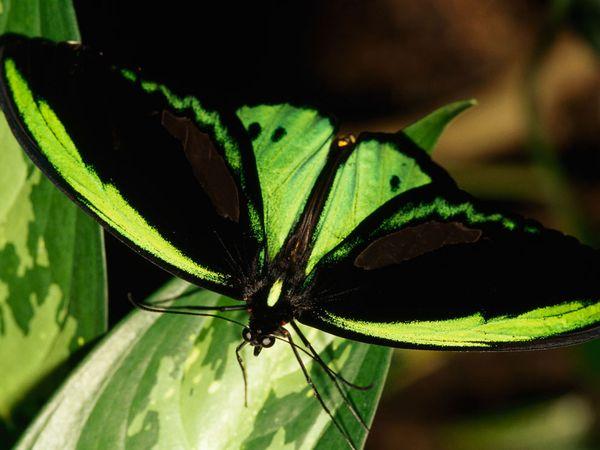 birdwing-duplaix_Butterfly tattoo8