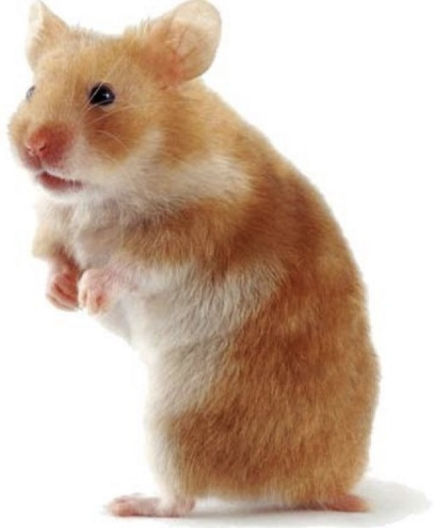Cutey Hamster!