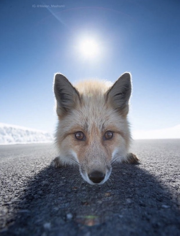 Close Encounter with a Curious Fox from The Meta Picture