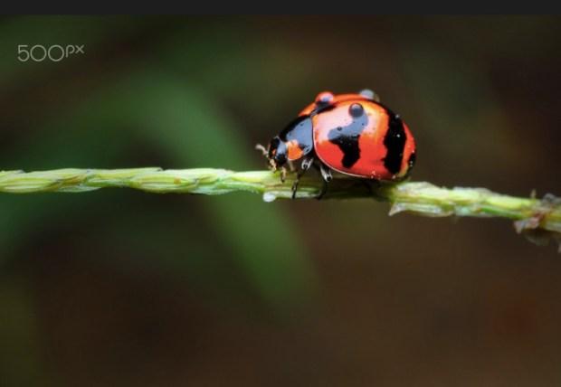 Dew on ladybug