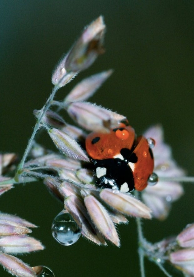 Ladybug and dew