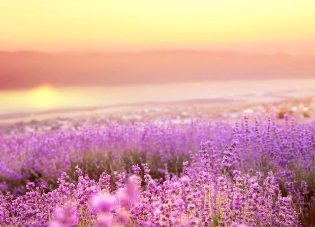 Beautiful Image of Lavender Field | Nature Wallpaper