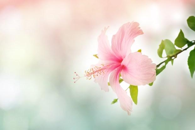 Hibiscus Flower in soft focus