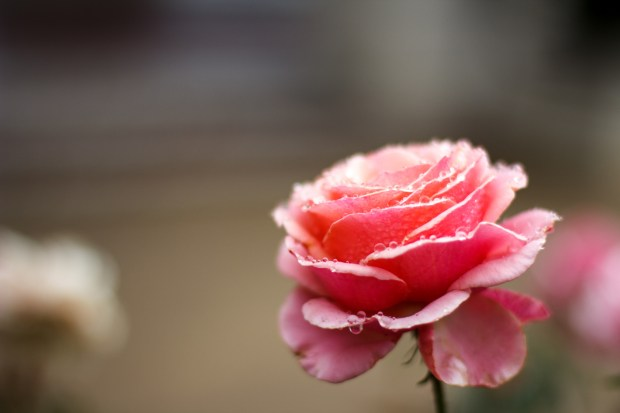 Beautiful rose covered in raindrops