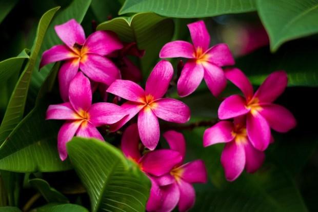Bright colors, Plumerias