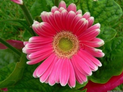 Daisy Images 9