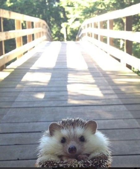 Picture Of Hedgehogs 3