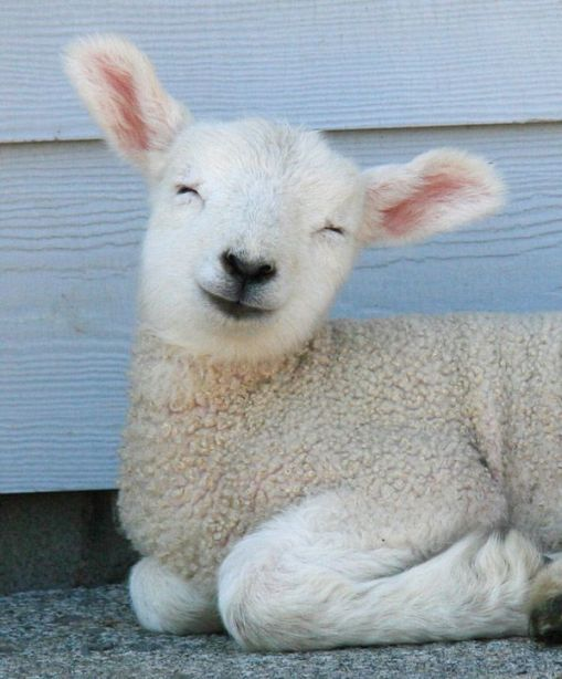 sheep pictures 1