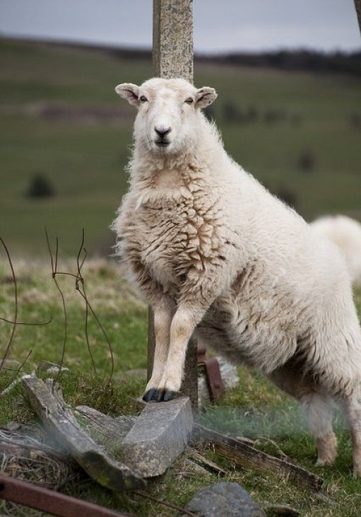 sheep pictures 7