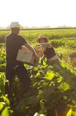 Harvesting_Squash__Mother_s_Flight_Farm__Washington.jpg
