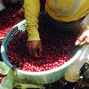 klatch-coffee-guatemala-feminino-thumb-984x984-58726.jpg