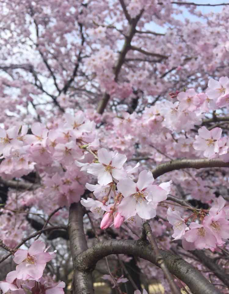 Las flores de credo son las flores más amadas por los japoneses.
