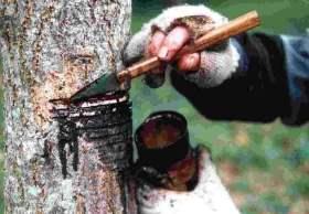 exudación del árbol