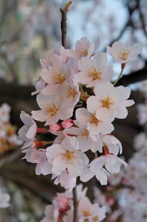 Flor de cerezo, belleza efímera.