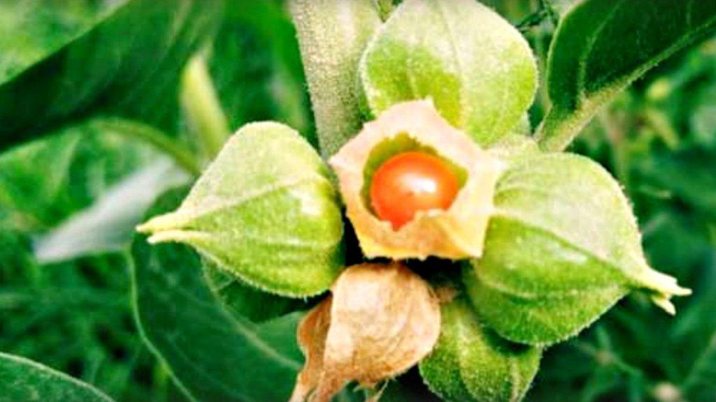 南非醉茄對減重有效嗎?南非醉茄可能幫助減肥的六大原因