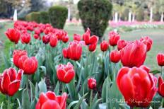 tulips in lahore (2)