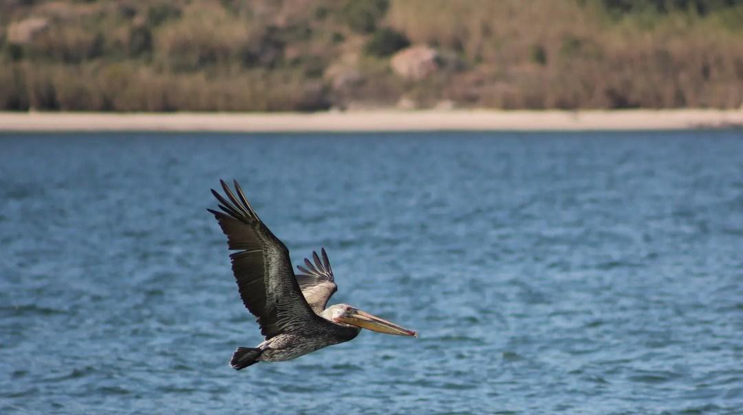 Cooper DuBois , birds watchers will love Mazatlán