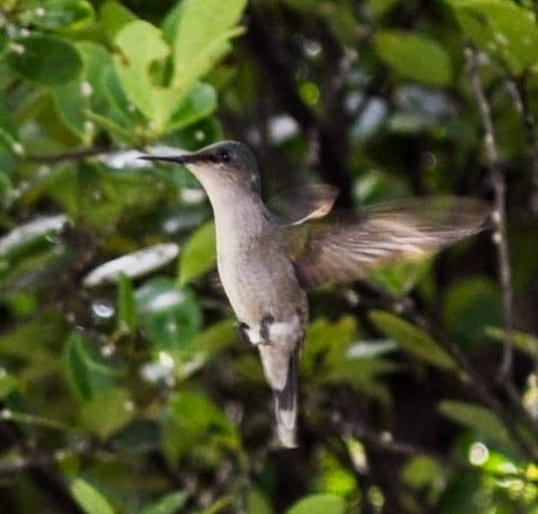 Green-Throated Carib Hummingbird flying