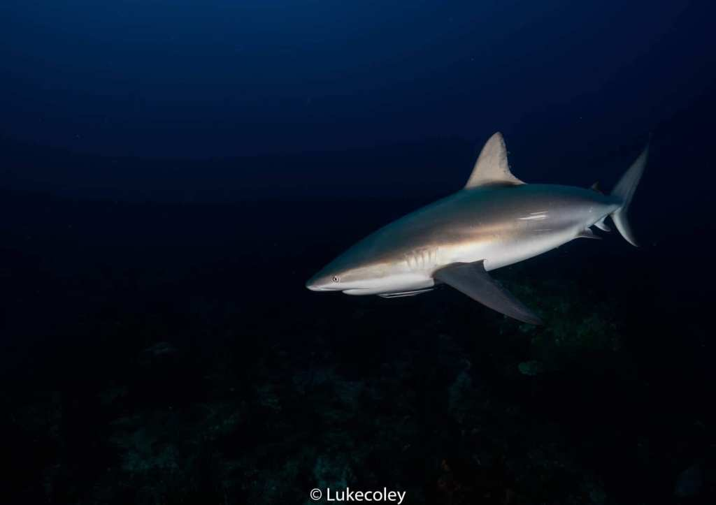 Grey Reef Shark in the ocean