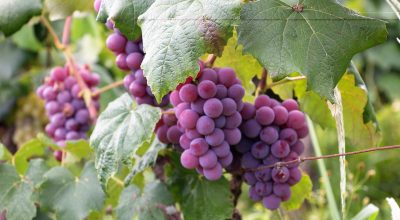 grapes are toxic for dogs