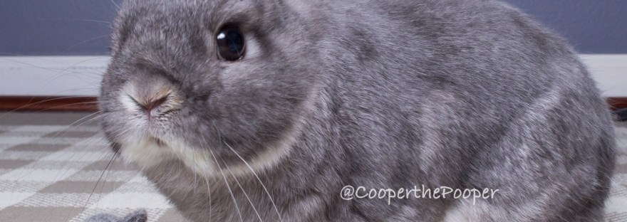 CCooper the Pooper - Grey Netherland Dwarf Rabbit - Sitting next to a tiny felt replica of him