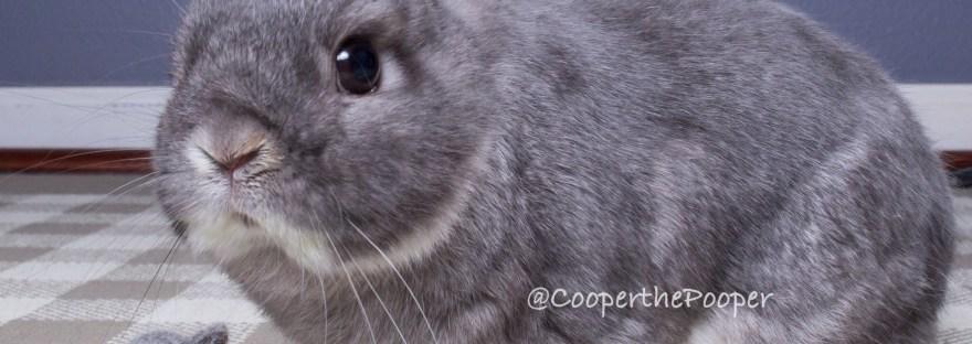 CCooper the Pooper - Grey Netherland Dwarf Rabbit - Sitting next to a tiny felt replica of him