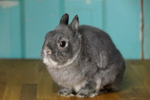 Cooper the Pooper - Netherland Dwarf rabbit - teal backdrop