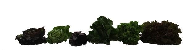 Lettuce Types_WhiteBackground