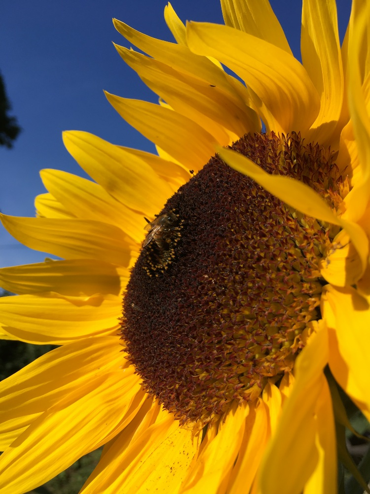 a close up of a sunflower, almost hidden in the middle is a bee