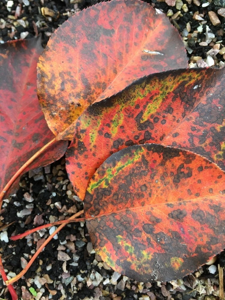 old leaves that have red, rest, yellow and black colours