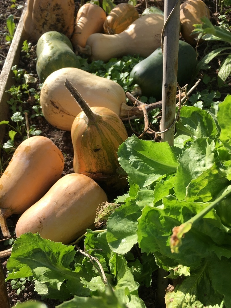 butternut squash sitting in a field with the green leaves around then, ready to be icked
