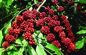 coorg-seeds